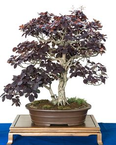 Cotinus coggygria bonsai tree