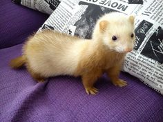 Aww little ferret Ferrets Care, Baby Ferrets, Funny Ferrets, Pet Ferret, Cute Baby Animals, Animals And Pets, Funny Animals, Chinchilla, Beautiful Creatures