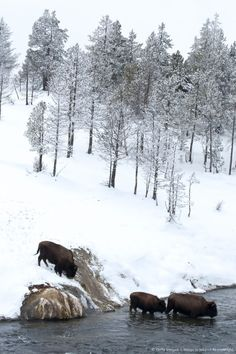 """eqiunox: """" American bison (Bison bison) crossing a river in Yellowstone National Park in winter """""""