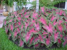 We have interspersed caladium varieties and Elephant Ears throughout the side shade garden each year.