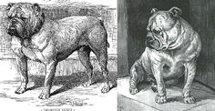 Gallery | The Victorian Bulldog Foundation