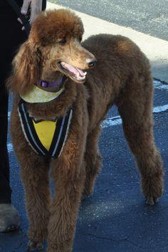 Red Standard Poodle Mobility Service Dog!!