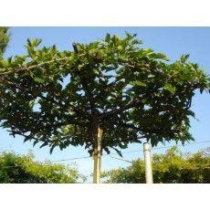 Dakmoerbei (Morus Alba Fruitless dakboom)