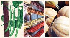 The Three Sisters Garden Seeds Package consists of Kentucky Wonder pole bean, Tennessee Red Cob corn, and Seminole pumpkin. Veg Garden, Garden Seeds, Summer Garden, Lawn And Garden, Garden Plants, Organic Gardening, Gardening Tips, Seed Packaging, Tomato Cages