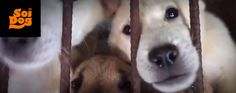 South Korea pkease stop the torture and killing. Will you be a hero for dogs again?