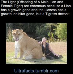 The reason they are bigger than the parents is due to breeding strategy and behaviour. In a pride of lions, many males will mate with a lioness, each transmitting a growth-promoting gene so that their offspring will out-grow competitors in the womb; lionesses have a growth-inhibiting gene to compensate. Tigers are solitary animals. A tigress will usually only mate with one tiger. Without this competition for space in the womb, there is no biological need for a growth-promoting or…