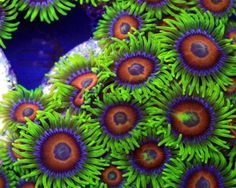 coral polyps | Eagle Eye Polyps, Zoanthus sp. Species Profile, Care Instructions ...
