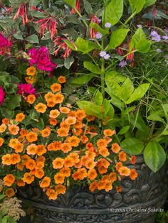 #Orange Million Bells in this #container #garden are a fresh and happy #color!