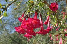 Cantua buxifolia 'Hot Pants' (2) Karl Gercens The January 2015 Plant of the…