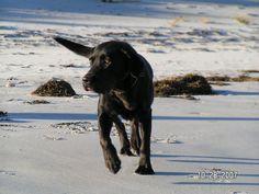 My dog Bella the black Labrador happy on the Beach