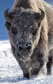 bizon in snow afbeelding - Google zoeken