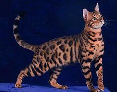 California spangled cat, what beautiful markings. Bred to look like the wild ocelot or leopard, the spangled cat was created to make a statement about the plight of the world's dwindling wildcats.