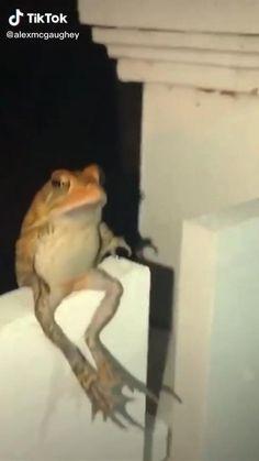 Frog flopping fliping Funny Animal Videos, Cute Funny Animals, Funny Cute, Funny Frog Pictures, Pacman Frog, Funny Dog Jokes, Frog Wallpaper, Pet Frogs, Frog Meme