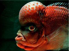 thai silk flowerhorn fish pictures   What make a Flowerhorn a Red Dragon