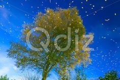 Qdiz Stock Images Reflection of Tree and Sky in Water,  #autumn #blue #bright #colorful #fall #foliage #green #lake #landscape #leaf #leaves #natural #nature #park #pond #puddle #reflection #River #scenery #season #sky #tree #view #water #wood