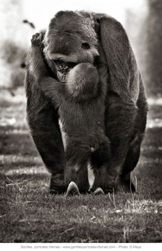 Maman gorille et son petit - Affectueuses et attentionnées, les femelles…
