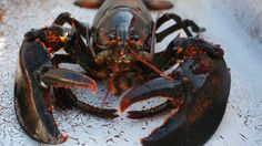 "Sweden is not backing away from its campaign to ban the import of live lobsters into the European Union arguing a ""precautionary approach"" justifies its claim that the presence of North American lobsters in European waters constitutes an invasive species risk."