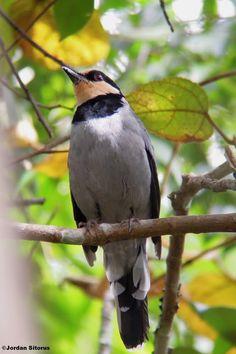Bornean Fruithunter, thrush family - endemic to Borneo