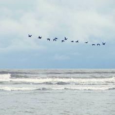 Volando en bandada es mejor que en solitario #Colombia #bird #igerscolombia #ig_colombia #birds #pacific #ocean #pacifico #labarra #valledecauca #azuleando #water #beach