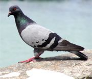 Raising Pigeons For Survival And Self-Reliance