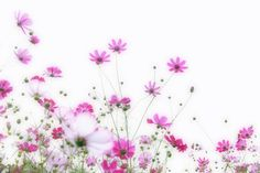 cosmoses コスモス Cosmos Flowers, Wild Flowers, Beautiful Flowers, Iphone Wallpaper, Fine Art, Miniature, Garden, Pictures, Backgrounds