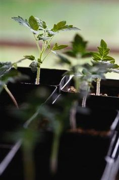 The most cost-effective way to grow your annual crop of tomatoes  (Solanum lycopersicum) is to start them from seed. While the little seedlings can start out well, they are heavy feeders and need an ...