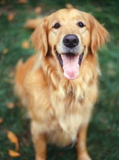 Golden-Retriever Rosie