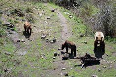 la osa Silvia en Hosquillo con sus crías.JPG