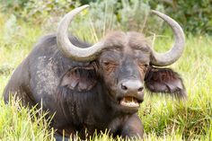 Food time - African Buffalo Syncerus caffer Food time - The African buffalo or Cape buffalo is a large African bovine. It is not closely related to the slightly larger wild water buffalo of Asia and its ancestry remains unclear.