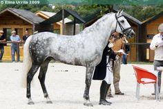 Lusitano - stallion Sobreiro