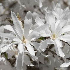 Star Magnolia Tree Gift
