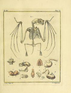 Bat anatomy by BioDivLibrary on Flickr. Dierkundig mengelwerk :. Utrecht :A. van Paddenburg en J. van Schoonhoven,[1767]-1770.. biodiversitylibrary.org/page/32575440