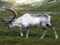 Did you know that to help improve vision, reindeer's eyes turn from gold to blue in the dark months of Arctic winter? Learn more with Popular Science!