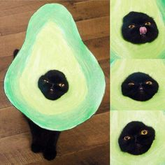 Avocado cat
