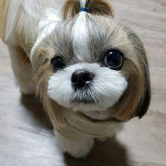 맨날맨날 이뻐😘  #얼짱#하느리#반려견#강아지#시츄#shihtzu#doggy#dog#doggylove