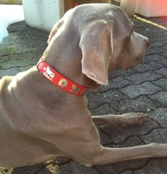 «Cos» with his Appenzell dog collar