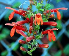 "Keckiella cordifolia ""Heartleaf Penstemon"" Hummingbirds go bonkers over the lovely scar­let blooms on this CA native evergreen 3-6' shrub. Bunched at branch ends, 1-2"" long, red-orange tubular flowers bloom May-July. Has heart shaped leaves & will stay evergreen in mild climates."