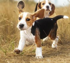 Cute Little Animals, Cute Funny Animals, Cute Beagles, Dog Shedding, Beagle Puppy, Cute Dogs And Puppies, Doggies, Mundo Animal, Animal Nursery