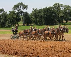 These 12 mules pulled a converted 3-bottom tractor plow at the 2011 Horse Progress Days in Kinzers, Penn. Courtesy: Rural Heritage. Cedar Rapids, IA (USA)