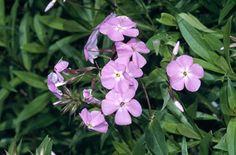 RHS Plant Selector Phlox carolina 'Bill Baker'  - mix with Penstemon 'Alice Hindley', Scabiosa' Butterfly Blue', Salvia nemorosa 'ostfriesland'