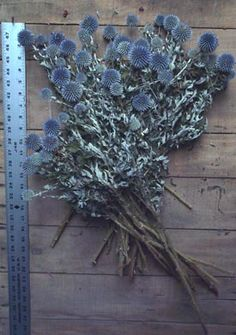 Blue Globe Thistle  Echinops    Echinops ritro  Beautiful, dense, blue, spiny globe-shaped dried flower heads on sturdy stems.      Price    $7.50              Dried Blue Globe Thistle from Dried Flowers Direct