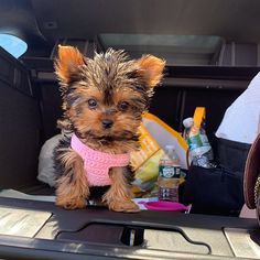 Loving and Caring Yorkie Puppies for sale | terrierpupsforhomes.com Monkeys For Sale, Morkie Puppies For Sale, Birds For Sale, Cavachon, Teacup Yorkie, Dog Ages, Yorkshire Terrier Puppies, Puppy Names, Shih Tzu Puppy