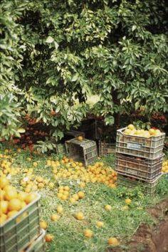 Orange tree harvest, Provence, France
