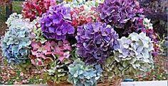 Cómo cultivar hortensias a partir de esquejes   Plantas