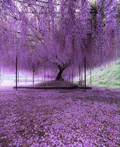 A 200 year old Wisteria tree in Japan.These stunning photographs, which look like a glorious late evening sky with dashes of pink and purple, are actually pictures of Japan's largest wisteria (or wistaria, depending on whom you ask) plant. Beautiful World, Beautiful Gardens, Beautiful Flowers, Beautiful Places, Beautiful Pictures, Wonderful Places, Beautiful Nature Wallpaper, Beautiful Landscapes, Wisteria Tree