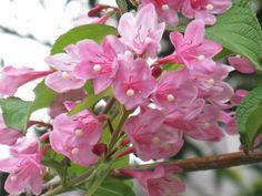 6月11日の誕生日の木は「タニウツギ(谷空木)」の別名です。開花期がちょうど田植えのシーズンにあたる事から付けられ名前です。もうひとつサオトメバナ(早乙女花)という別名もあるようです。