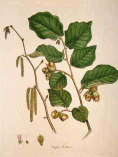 Artemisia pontica - Google Search