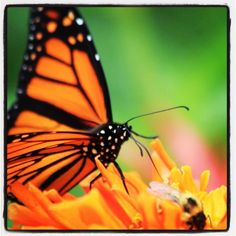 """Tony wenzel photography Butterfly and Bee hanging out at the local """"flower cafe"""""""