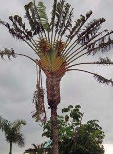 Am Playa Jardin, Puerto de la Cruz, ein großes Exemplar der #Baumstrelize (Strelizia nicolai). Sie werden bis zu 10 m hoch mit bis zu 4 m langen Blättern