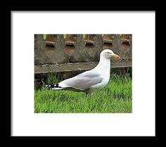 Brighton Seagull by Dorothy Berry-Lound.  A beautiful herring gull who posed for the camera. 'Seagulls' is the nickname for Brighton and Hove Albion Football Club. #seagull #bhafc #printsavailable